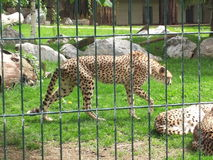 Cheetah in a zoo. A cheetah walking in his fence inside a zoo with other neighboring cheetahs that relax but of which you only see the back Stock Photos