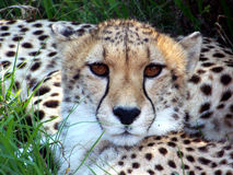 Cheetah01 Stock Photography