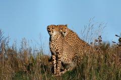 cheetah1 Στοκ εικόνες με δικαίωμα ελεύθερης χρήσης