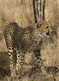 cheetahbarn Royaltyfri Bild