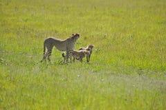 Cheetahen fostrar Royaltyfria Foton