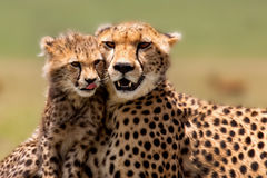 Cheetahen fostrar med gröngölingen, masaien Mara Royaltyfria Bilder