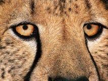 CheetahEye01 Lizenzfreies Stockfoto