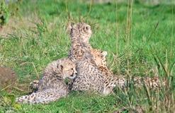 cheetahfamilj Royaltyfri Fotografi