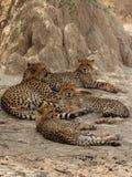 cheetahfamilj arkivbild