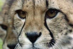 cheetahframsida Arkivbild