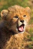 cheetahgröngöling Royaltyfria Bilder