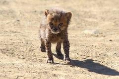 cheetahgröngöling Royaltyfri Foto