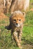 cheetahgröngöling Arkivfoton