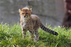 cheetahgröngölingen fotograferade serngetien tanzania royaltyfri foto