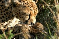 cheetahgröngölingmoder fotografering för bildbyråer