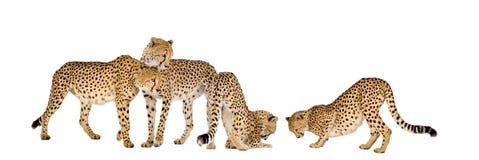cheetahgrupp Royaltyfri Bild