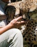 cheetahhand som slickar person s Arkivbilder