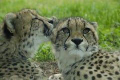 cheetahhemlighet Royaltyfri Bild