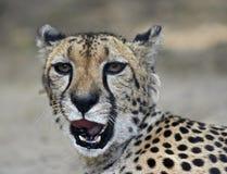 cheetahhuvud Royaltyfri Foto