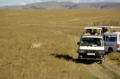 cheetahkenya mara masai Arkivbilder