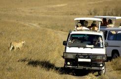 cheetahkenya mara masai Arkivfoton