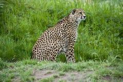 cheetahkringstrykande Royaltyfri Foto