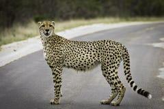 cheetahmodell Arkivbild
