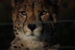 cheetahnatt royaltyfri foto