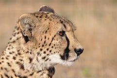 cheetahprofil Royaltyfri Foto