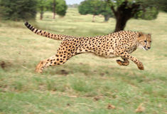 cheetahrunning arkivbild