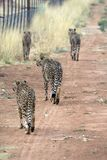 Cheetahs. Africat Foundation promoting large carnivore conservation and animal welfare Stock Images