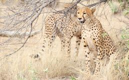 cheetahs images stock