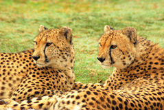 Cheetahs. Outdoor portrait of two African male Cheetahs gazing with observant facial expression in a game park in South Africa stock images