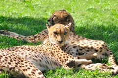 Cheetahs. Royalty Free Stock Images