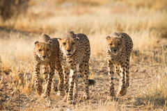 Free Cheetahs Royalty Free Stock Photography - 17925147