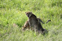 Cheetahs Stock Photography