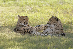 Cheetahs. Two cheetahs laying together, the male is licking his fur Stock Photos