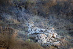 Cheetahs Royalty Free Stock Photos