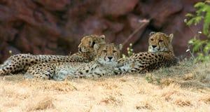 Cheetahs. Three Cheetahs lying in the shade Royalty Free Stock Image