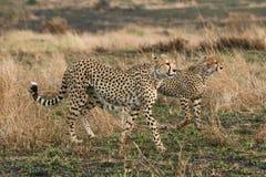 cheetahs Royaltyfri Bild