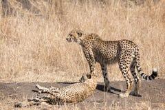 cheetahs lizenzfreies stockfoto