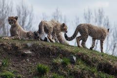 cheetahs stockfoto