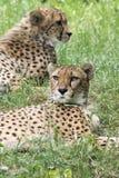 cheetahs lizenzfreie stockfotografie