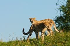cheetahs lizenzfreie stockbilder