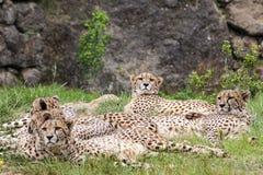 cheetahs stockbild