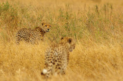 cheetahs Photographie stock libre de droits