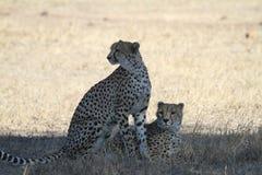 cheetahs Fotografie Stock Libere da Diritti