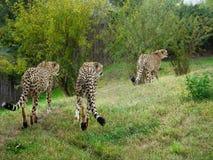 cheetahs stockbilder