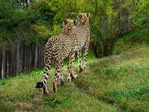 cheetahs images libres de droits