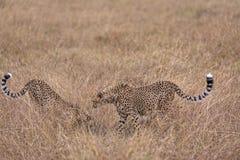cheetahs lizenzfreie stockfotos
