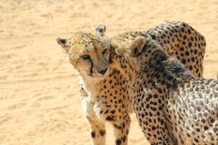 cheetahs Immagine Stock