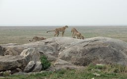 Cheetahs in Africa stock images