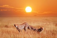 Cheetahs in the African savannah at sunset. Wildlife of Africa stock photo
