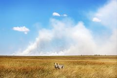 Cheetahs against a beautiful sky with clouds . Africa. Safari.  Royalty Free Stock Images
